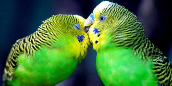0135 550x275 Из жизни попугаев