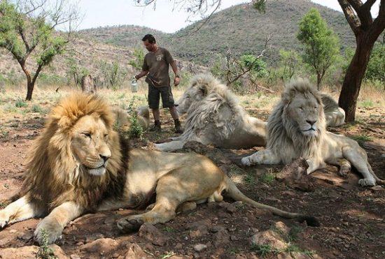 7 550x371 Кевин по прозвищу Лев