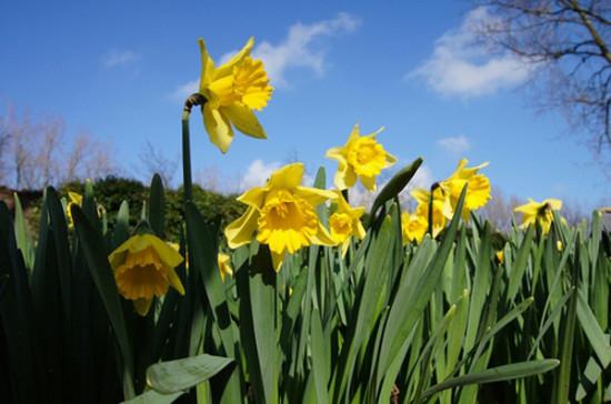 Foto11. Narciss  Narcissus pseudonarcissus   sem. Amarillisovye 550x364 ЖИВОЙ МИР ВЕЛИКОБРИТАНИИ. ФЛОРА.
