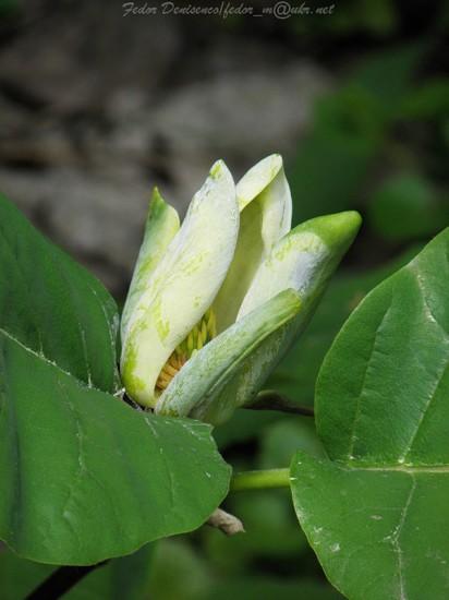 0 472a4 40c49db6 XL 412x550 Magnolia grandiflora