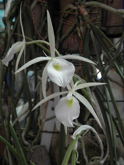 0 999b2 fdc7d406 XL 412x550 Орхидеи