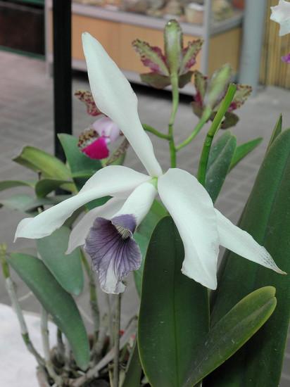 0 999b6 6d91e552 XL 412x550 Орхидеи
