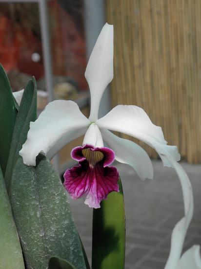 0 999b7 958b643 XL 412x550 Орхидеи