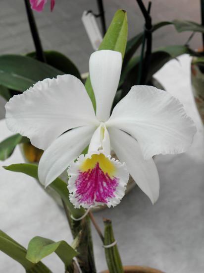 0 999b8 cfd90de9 XL 412x550 Орхидеи