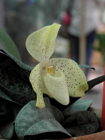 0 999bd 2e2a805f XL 412x550 Орхидеи