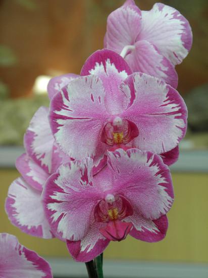0 999bf 9905e468 XL 412x550 Орхидеи