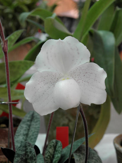 0 999c1 d3548dd3 XL 412x550 Орхидеи