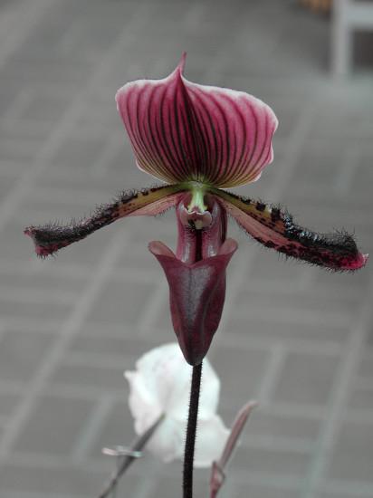 0 999c3 18ed2dc2 XL 412x550 Орхидеи