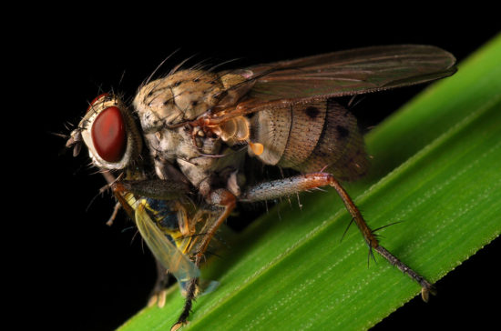 0 dd0c1 2c5a761a orig 550x364 Фантастические макроснимки насекомых от Boris Godfroid