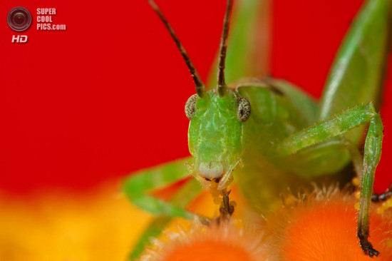 0 dd0c2 5db17c54 orig 550x366 Фантастические макроснимки насекомых от Boris Godfroid