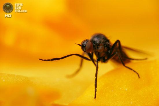 0 dd0c5 5b21f64a orig 550x368 Фантастические макроснимки насекомых от Boris Godfroid