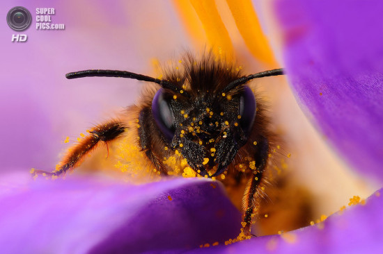 0 dd0c6 1ac9a624 orig 550x366 Фантастические макроснимки насекомых от Boris Godfroid