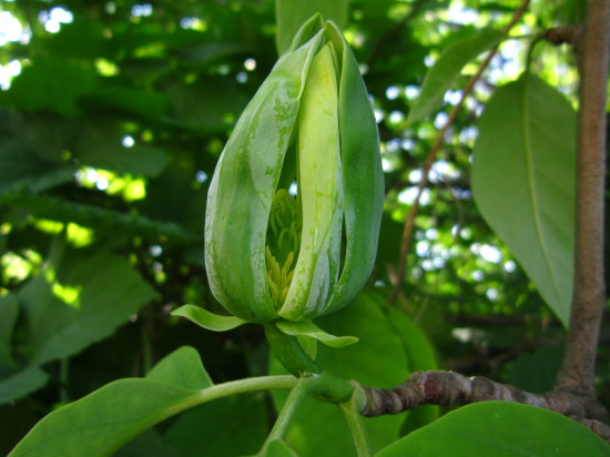 IMG 4781 550x412 Magnolia grandiflora
