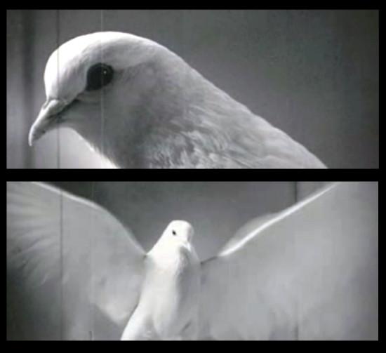 bardo pigeon 550x503 Эксперимент с голубем
