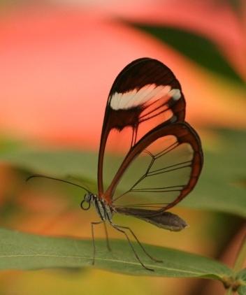 101 Бабочка с прозрачными крыльями