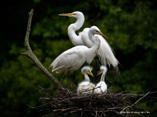 1377536675 national geographic luchshie fotografii 21 550x411 Отцы и дети у животных