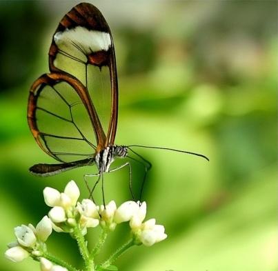 14 Бабочка с прозрачными крыльями