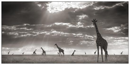 22 550x275 Африка от Ника Брандта