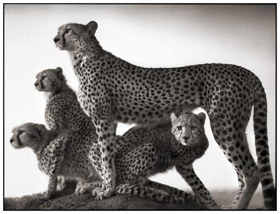 221 550x421 Африка от Ника Брандта