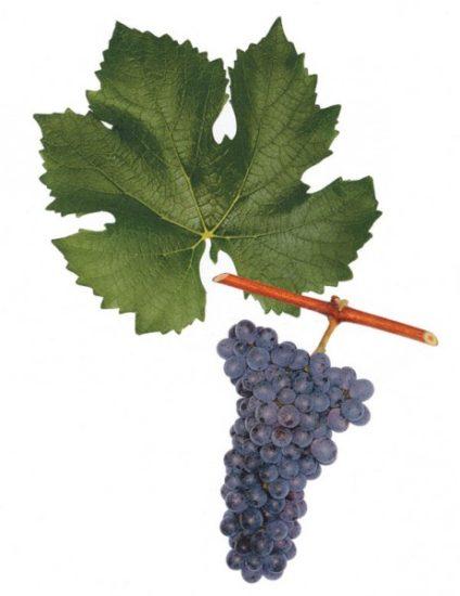 25 463x600 424x550 Вино Пинотаж (Pinotage)