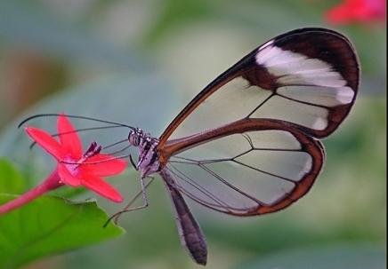 26 Бабочка с прозрачными крыльями