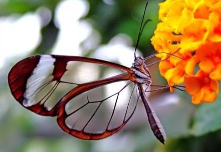 41 Бабочка с прозрачными крыльями