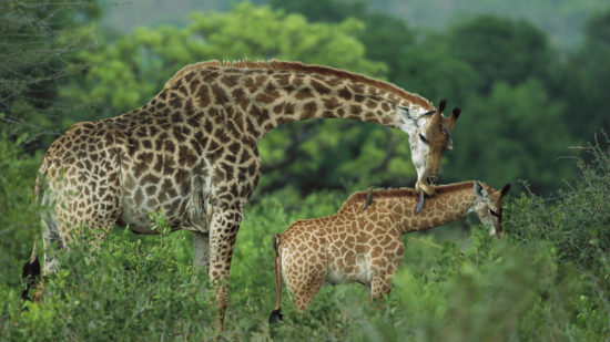 4281 550x309 Отцы и дети у животных