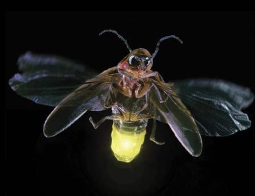 500x fireflybug Светлячки