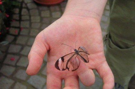 91 Бабочка с прозрачными крыльями