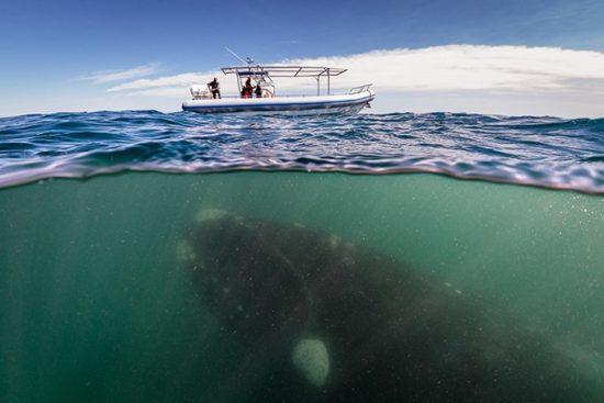 Belyj kit. 550x367 Белый кит
