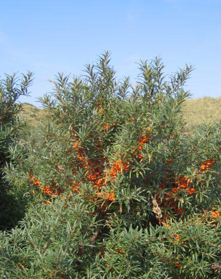 Hippophae rhamnoides 01 xndr 435x550 Облепиха: полезные свойства