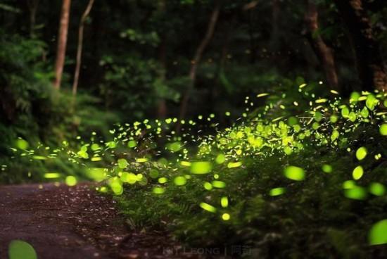 Volshebnye les svetlyachkov 550x368 Светлячки