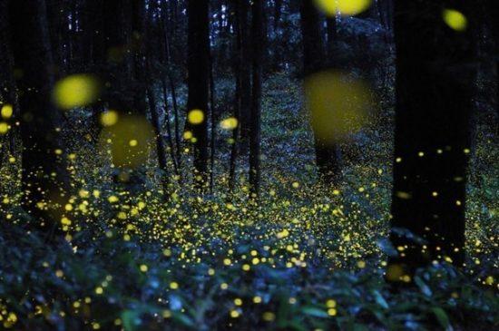 Volshebnye les svetlyachkov1 550x365 Светлячки