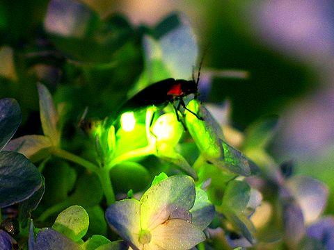 firefly light under Светлячки