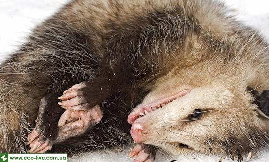 int seven 04 opossum Интересные факты о животных