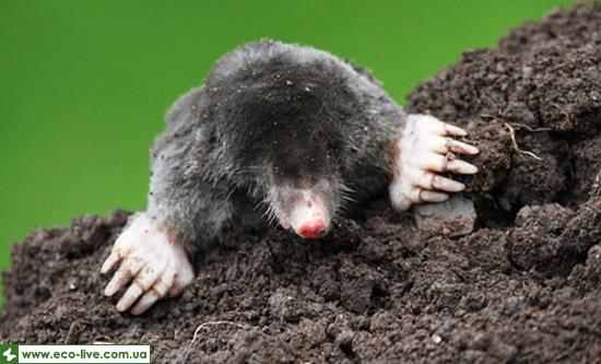 int seven 05 mole Интересные факты о животных