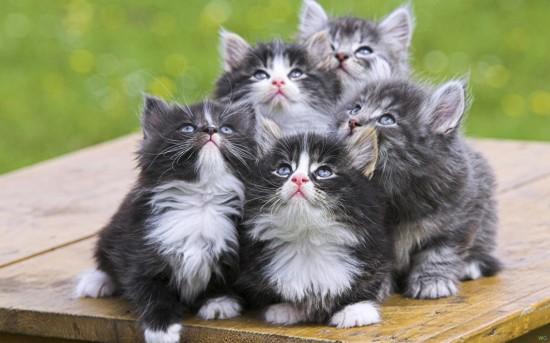 koshki 2560x1600 27890022 550x343 Интересные факты о кошках