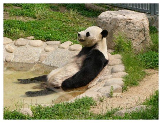 panda relax 550x418 Релакс в исполнении животных