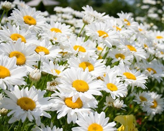 romashka thumb 255B1 255D Целебные травы для хорошего сна
