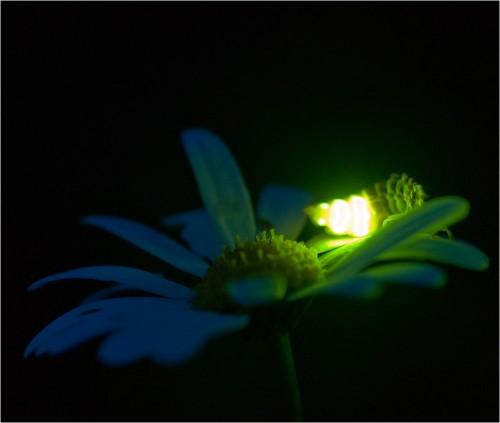 svetlyak foto 500x423 Светлячки