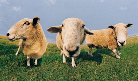 11040 550x323 Притча про овец