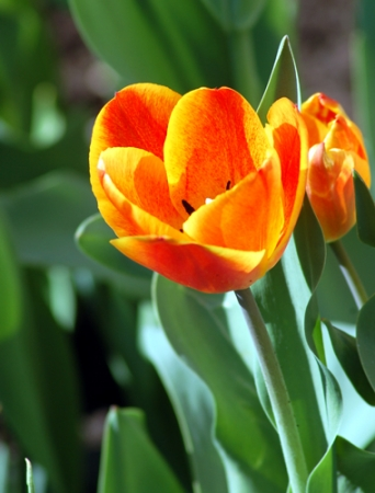 1231931393 orange tulips large Цветочный гороскоп