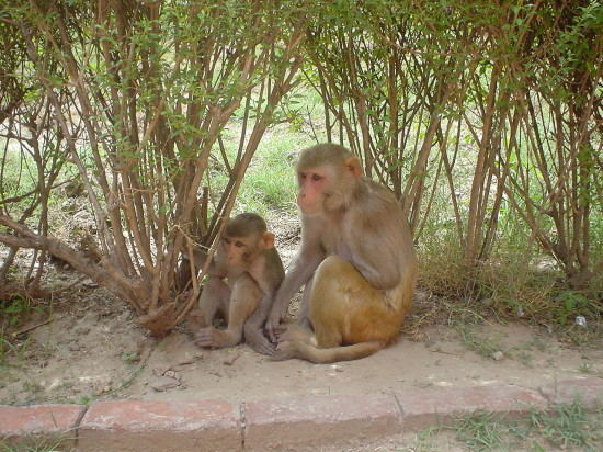 1280px Rhesus Macaques 550x412 Макаки