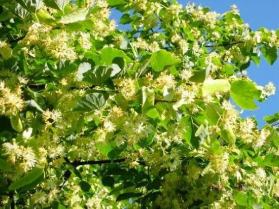 1336895434 lipovyi cvet poleznye svoistva 550x412 Липовый цвет и липовый чай