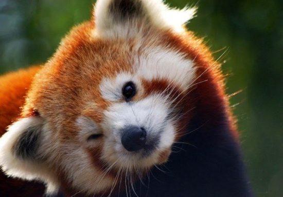 3N0KQA1yXlY 550x384 Красная панда