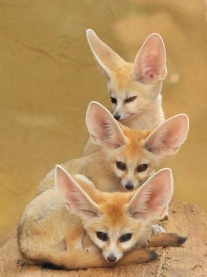 4 1 412x550 Фенек   самое удивительное животное из рода лисиц