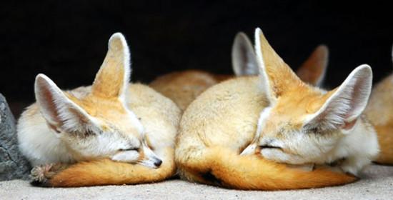 4 2 550x280 Фенек   самое удивительное животное из рода лисиц