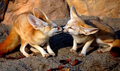 4 3 Фенек   самое удивительное животное из рода лисиц