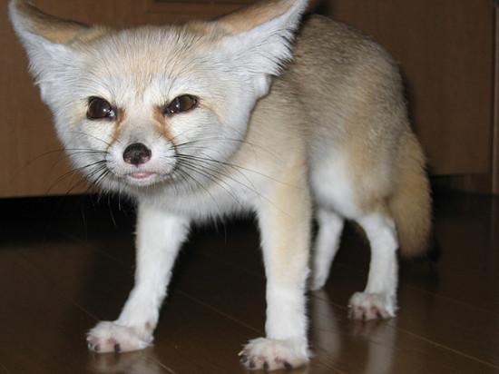4 4 550x412 Фенек   самое удивительное животное из рода лисиц