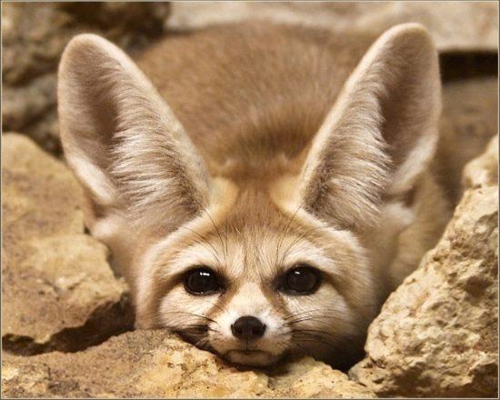 51 550x440 Фенек   самое удивительное животное из рода лисиц